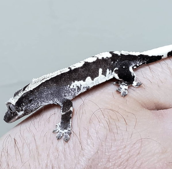 axanthic lilly white project