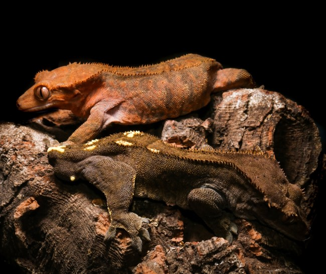 Cappuccino crested gecko breeding pair