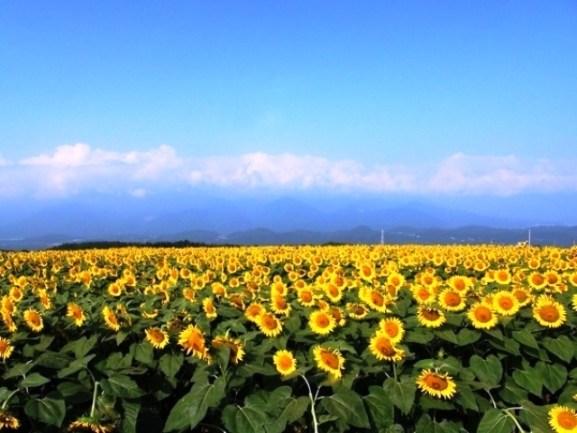 1-Surga Taman Bunga Matahari Akeno Himawari Batake