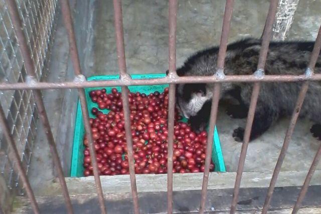 Foto: Produksi kopi luwak pesangkalan (dokumen pribadi)