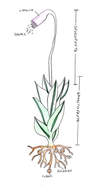 Moss | Tentative Plant Scientist