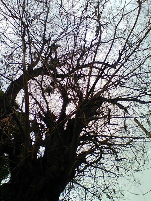 Pohon tetua di Taman Kencana