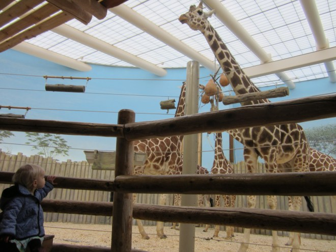 Peeper visits the giraffes at the Brookfield Zoo in Illinois during Christmas.