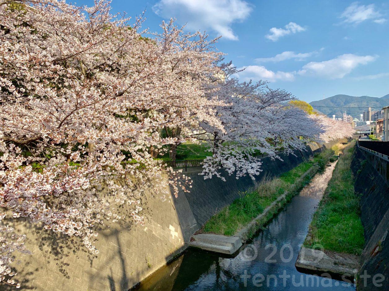 北九州 桜 穴場 志井川