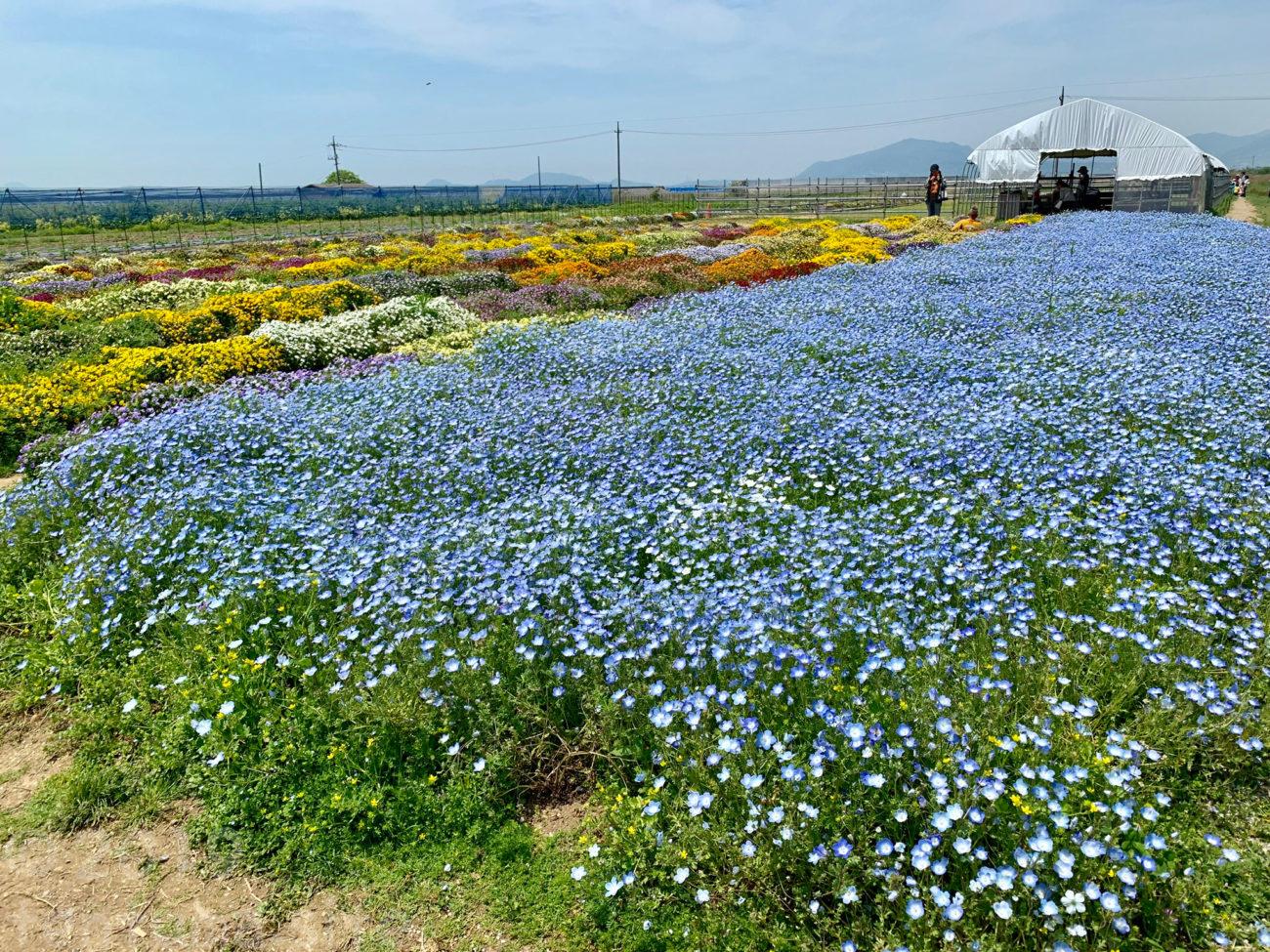 【山口県】山陽小野田市のおでかけスポット「花の海」に行ってきた!