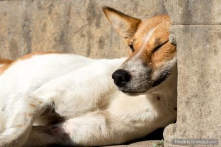 dog smiling sleeping