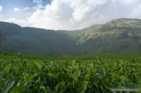 bhote chaur tea garden