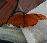 check out the imperfections on the wings. could be an elderly butterfly.