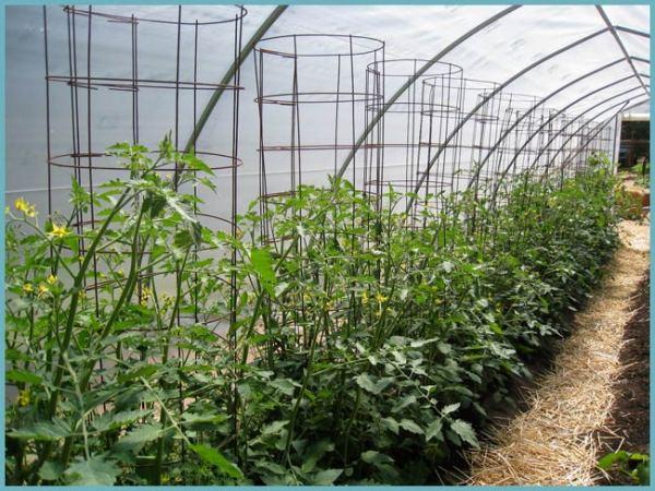 Каким образом и как подвязать помидоры в теплице - Тепличка 22
