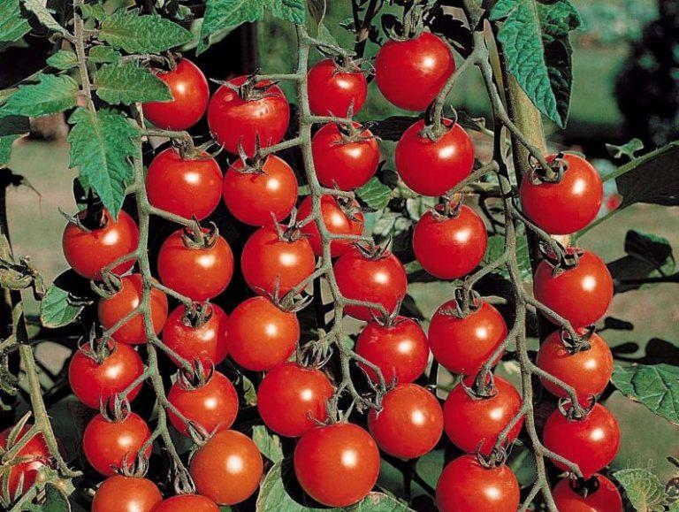 Чем полезен розовый томат, преимущества фермерских овощей