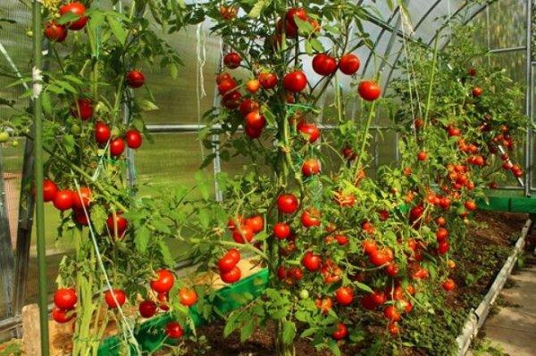 Формирование томатов в теплице: инструкции для разных ...