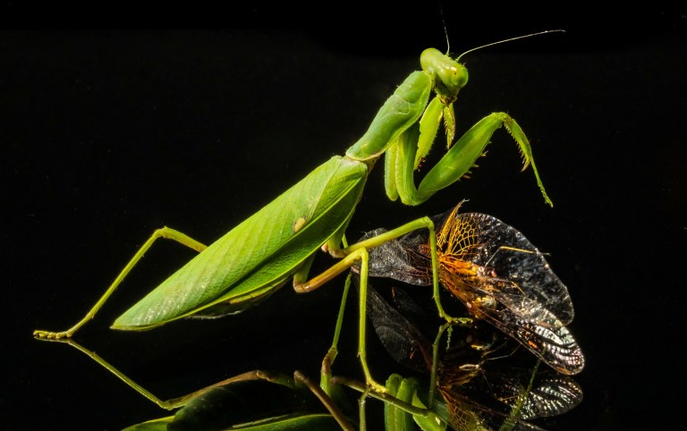 Praying mantis killing prey