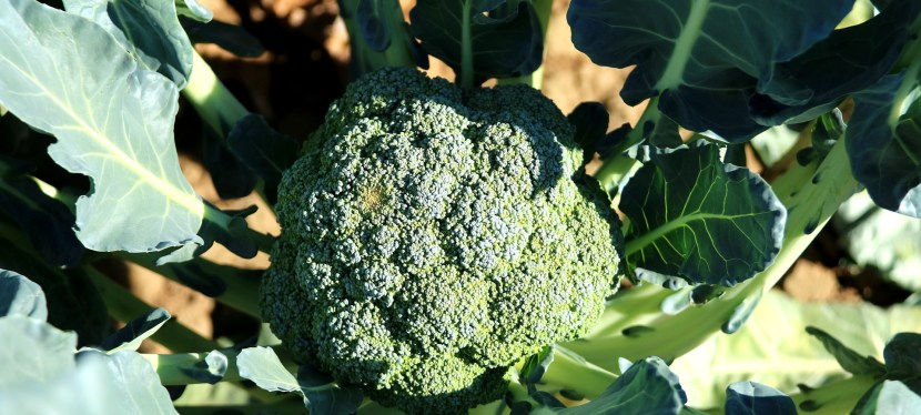 5 Tips for Growing Broccoli in Containers and Raised Beds