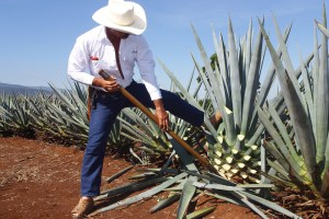 jimador, agave, tequila brands