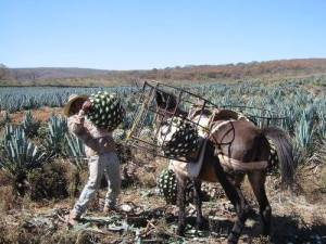 Jimador lifting piñas.  Courtesy of Tequila G4.