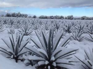 The Agave Shortage of 2017 Is Worse Than We Thoughthttp://wp.me/p3u1xi-4DZ