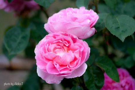 akiko_rose-35