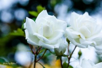 akiko_rose-48