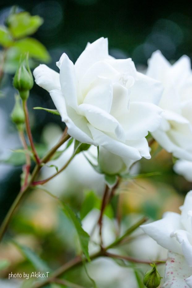 akiko_rose-49