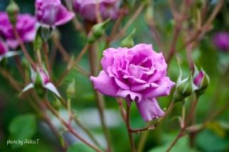 akiko_rose-50