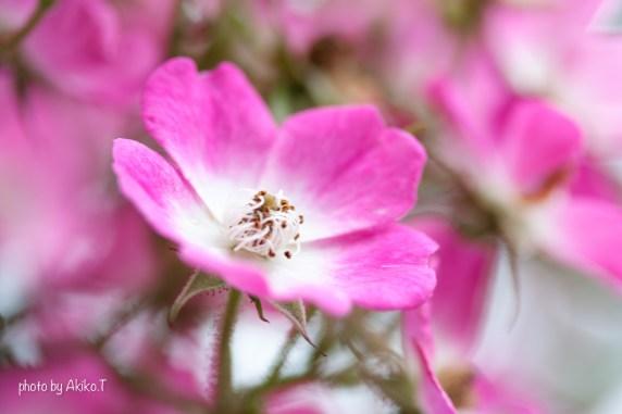 akiko_rose-63