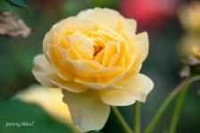 akiko_rose-66