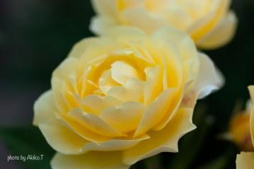 akiko_rose-67