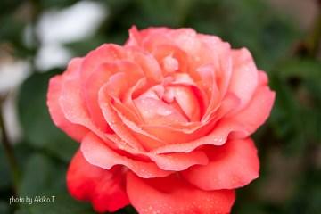 akiko_rose-7