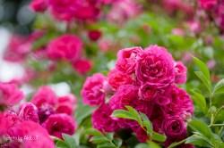 akiko_rose-76
