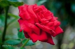 akiko_rose-78