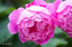 akiko_rose-89