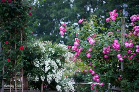 akiko_rose-92