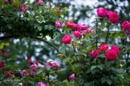 akiko_rose-95