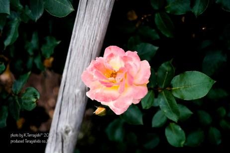 rose-23