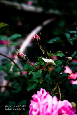 rose-37