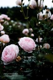 rose-39