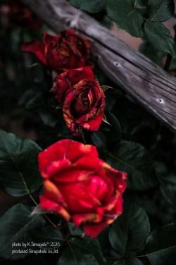 rose-46