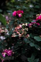 rose-47