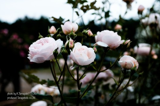 rose-51