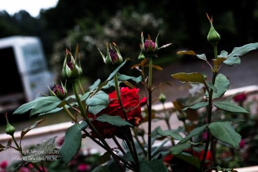 rose-56