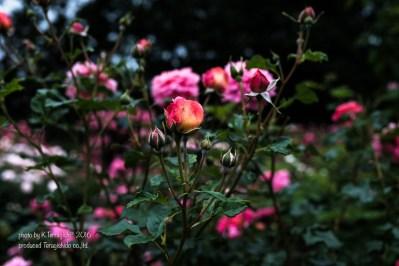 rose-67