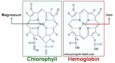 Chlorophylle hémoglobine