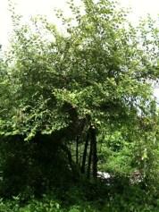 Pohon Bidara Muda