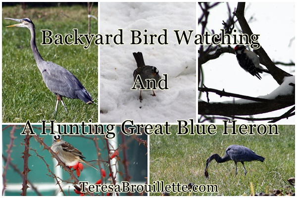 How To Get Your Backyard Ready For Bird Watching, And A Hunting Great Blue  Heron