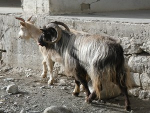 Goats in Padum