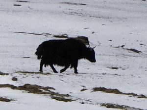 Yak, Ladakh