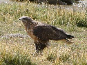 Eagle in the field, Tosmoriri Lake, Ladakh, India