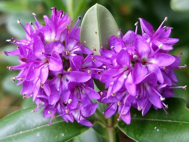 Purple Koromiko