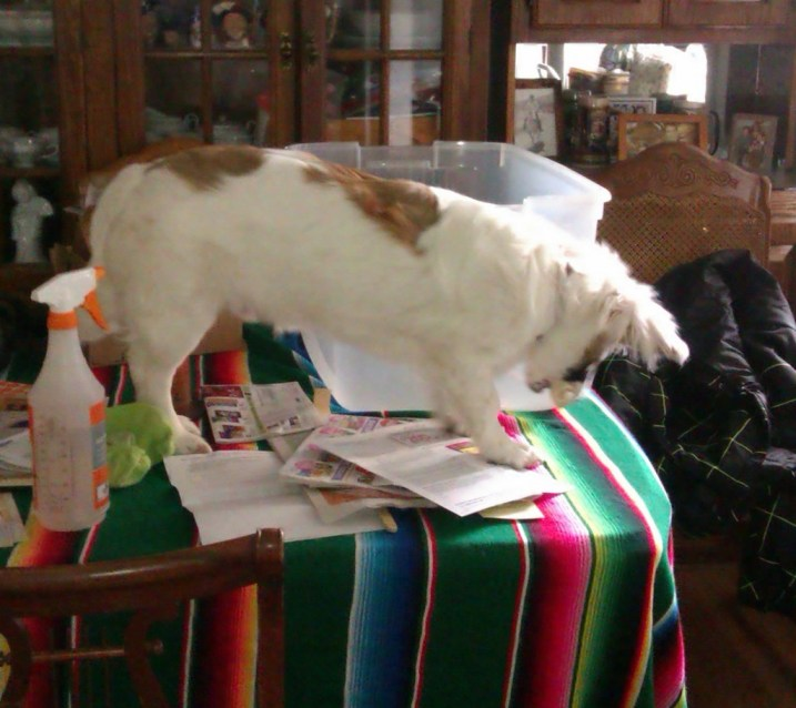 photo of the author's corgle puppy standing on a table