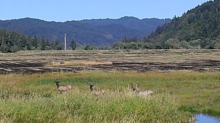 wild elk feeding in the marsh